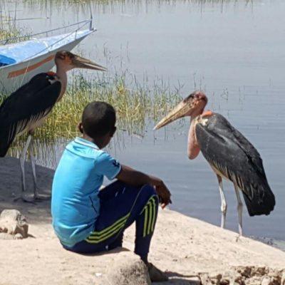 Marabou birds at Lake Hawassa, Ethiopia